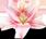 Цветок неземной красоты